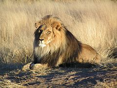 articoli/679/Lion_waiting_in_Namibia.jpg